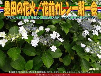 墨田の花火/花前カレン一期一会画像02