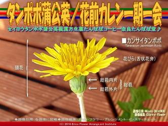 タンポポ蒲公英(2)/花前カレン画像01
