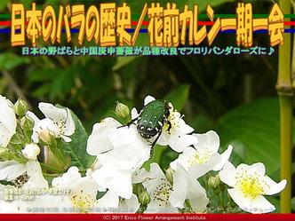 日本のバラの歴史/花前カレン一期一会画像02