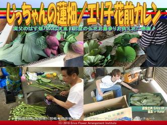 じっちゃんの蓮畑(6)/エリ子花前カレン画像01 ▼画像クリックで640x480pxlsに拡大@エリ子花前カレン