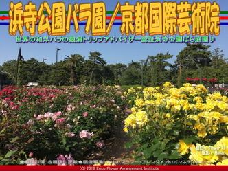 浜寺公園バラ園(3)/京都国際芸術院画像01 ▼画像クリックで640x480pxlsに拡大@エリ子花前カレン