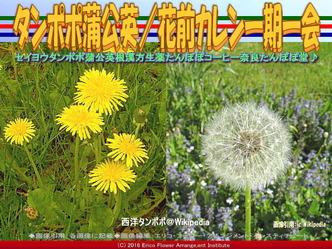 セイヨウタンポポ/花前カレン画像01