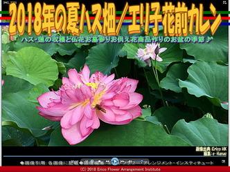 2018年の夏ハス畑(4)/エリ子花前カレン画像02 ▼画像クリックで640x480pxlsに拡大@エリ子花前カレン