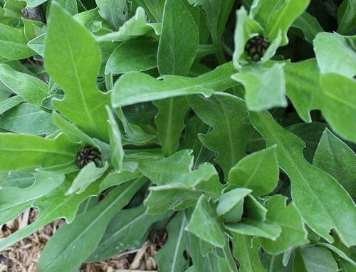 May18_centaurea
