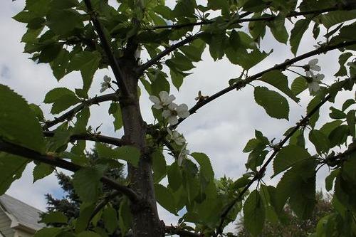 May11_cherrytree