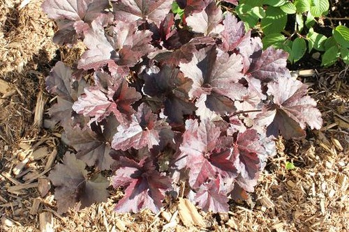 May25_heuchera3