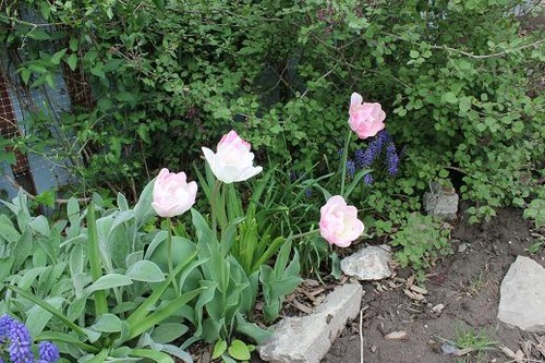 May11_tulips