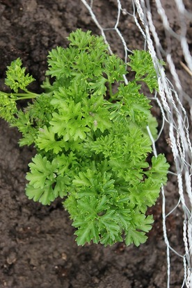 May22_parsley
