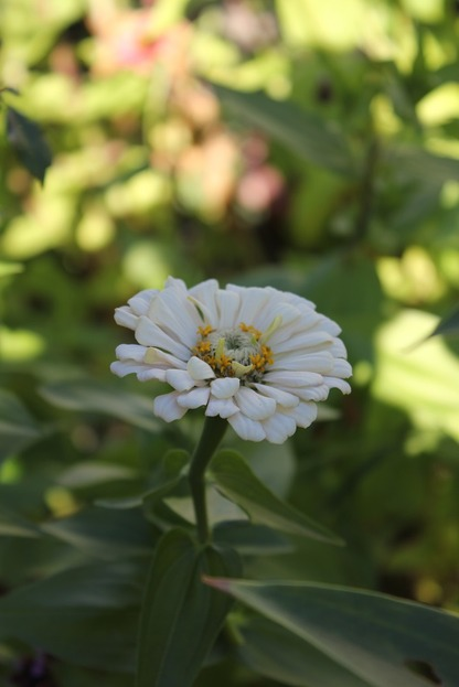 Oct10_zinniaw