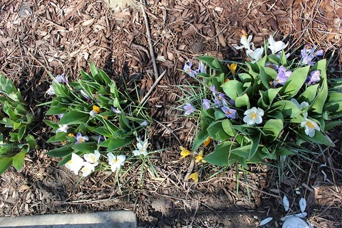 Apr17_crocuses
