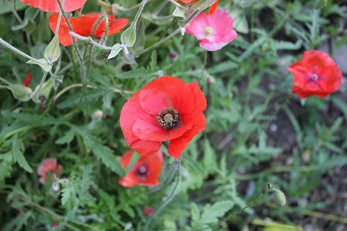 July27_poppies