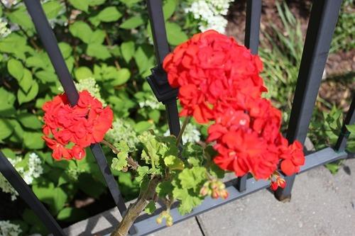 July27_pelargoniumRed
