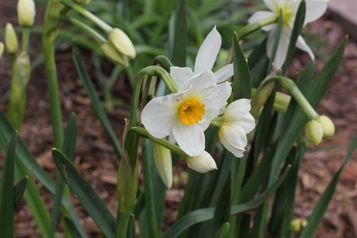 May16_daffGeranium