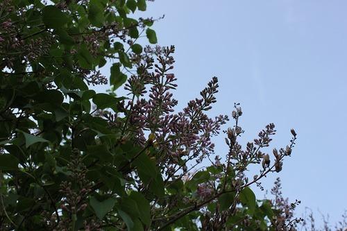 May10_lilac1