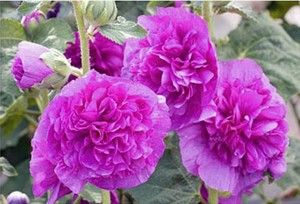 alcea-rosea-chaters-double-violet