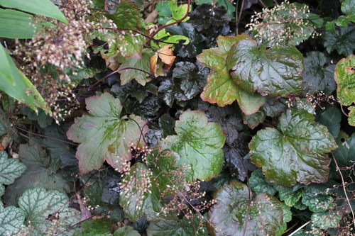Oct13_heuchera