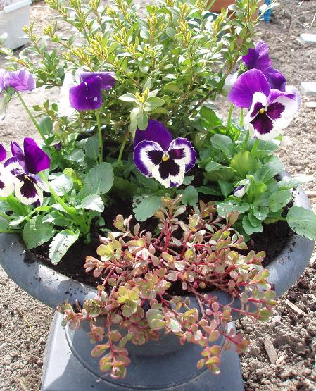 Apr28_pansies