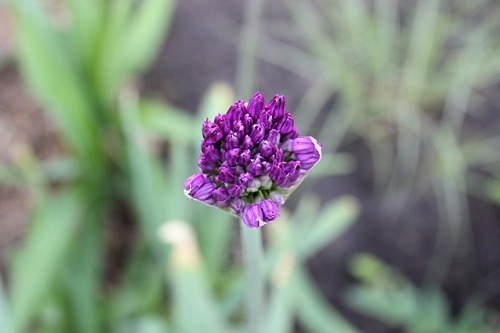 May17_allium