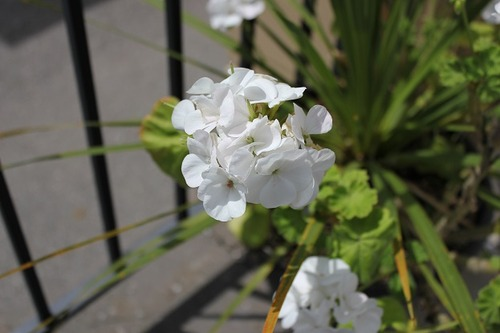 July27_pelargoniumWhite