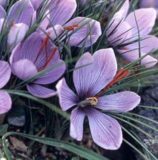Crocus sativus Fall Flowering Bulb
