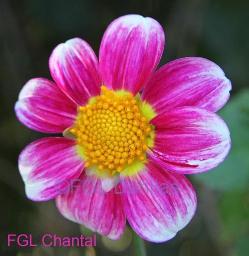 FGL Chantal