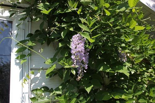 June22_wisteria