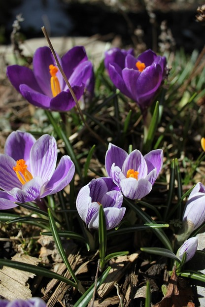 March26_crocuses4