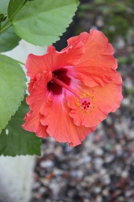 Sept4_hibiscus