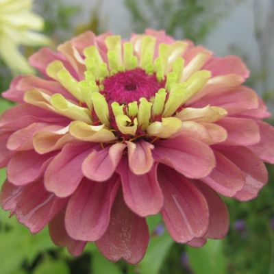 zinnia_queen_red_lime