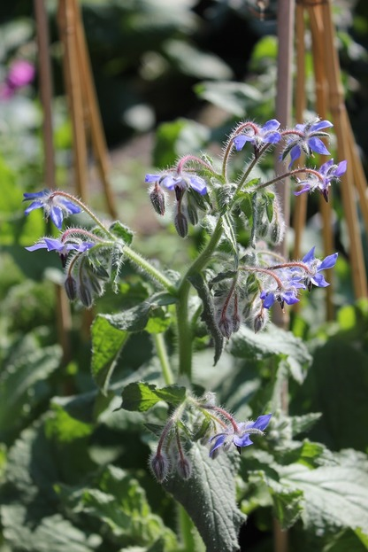 June25_borage1