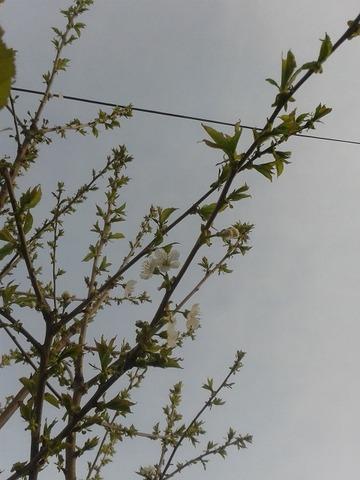 May13_cherrytree2
