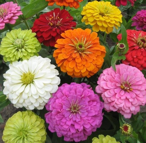 ZINNIA  SUPER YOGA