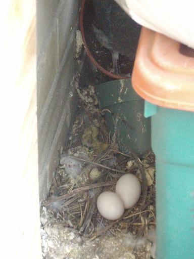 pigeon_eggs_s