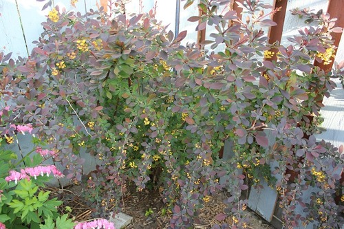 May17_barberry1