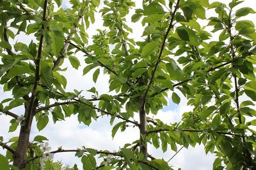 May11_cherrytree2