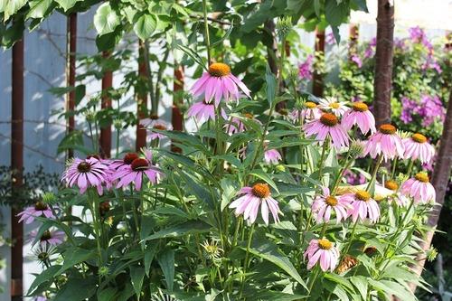 July27_echinacea1