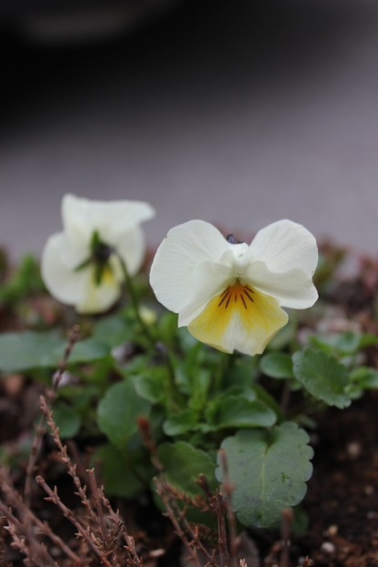 Apr25_pansies