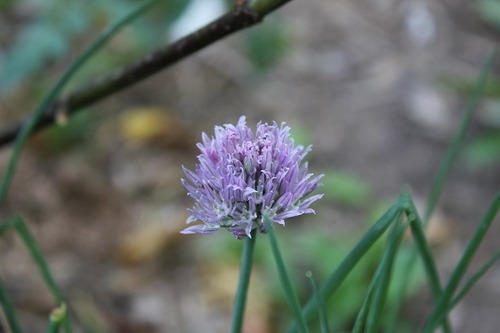 July27_chives