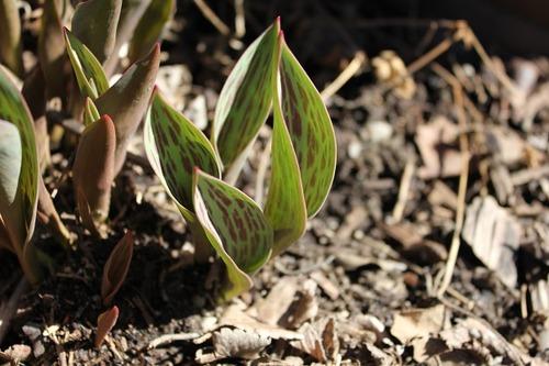 March29_tulipfe