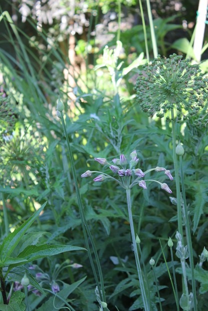 June18_alliums