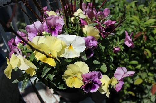 June15_pansies