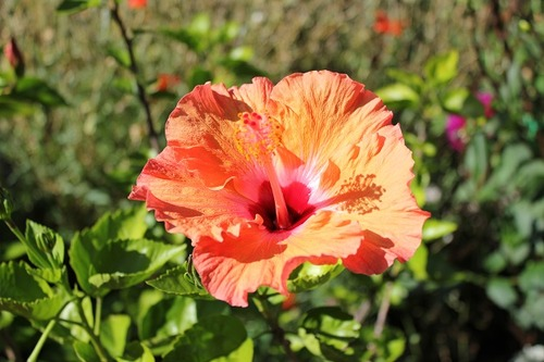 Sept7_hibiscus