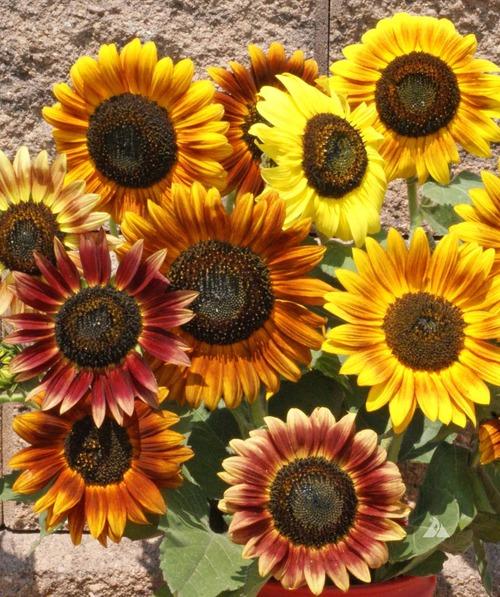 Autumn Beauty Sunflower1