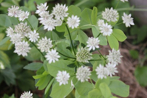 July27_astrantiaSOB