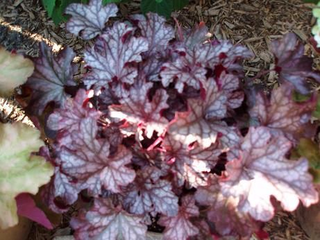 heuchera_blackccurent