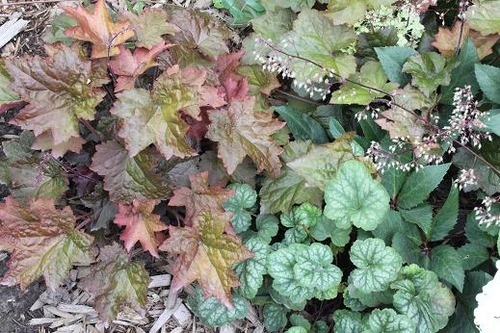 Aug5_heucheras