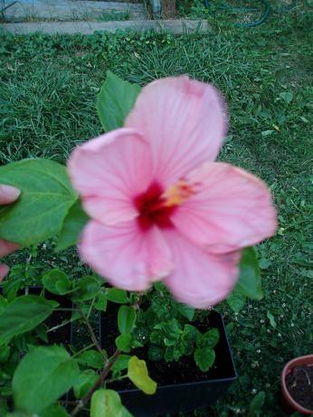 hibiscusJuly21