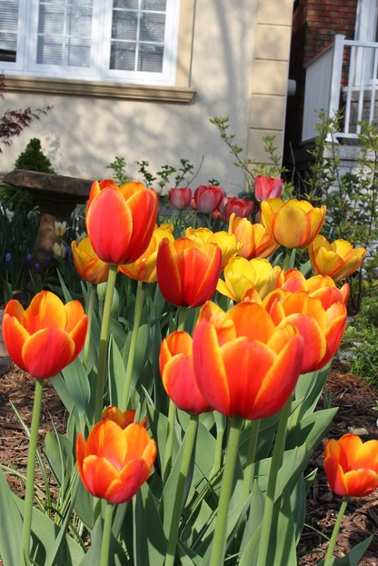 May10_ftulips