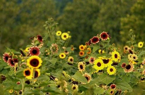 Autumn Beauty Sunflower2