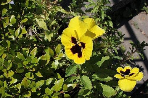 Aug24_ypansy